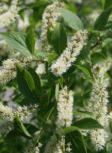 Iteaceae (Iteaceae)