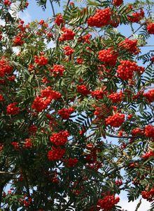 Mehlbeeren (Sorbus)