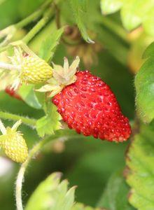 Erdbeeren (Fragaria)