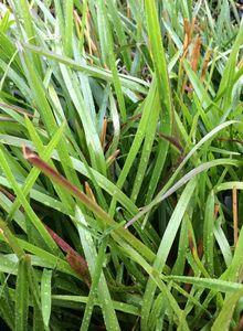 Rispengräser (Poa)