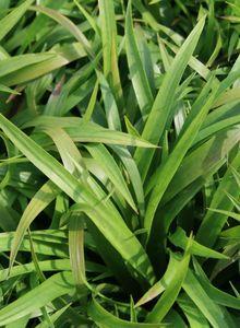 Binsengewächse (Juncaceae)