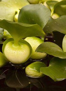 Wasserhyazinthen (Eichhornia)