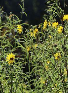 Klafterlange Sonnenblume