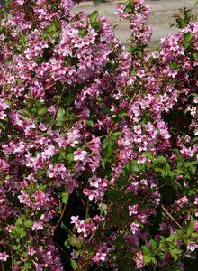 Geißblattgewächse (Caprifoliaceae)