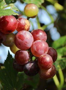 Weintraube 'Bellarosso'