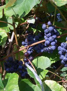 Weinrebengewächse (Vitaceae)
