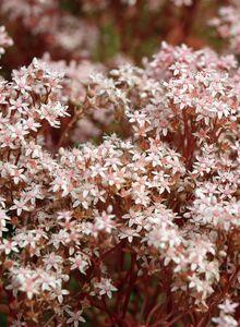 Weißblühender Rotmoos-Mauerpfeffer