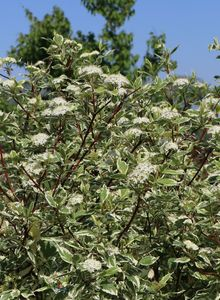 Weißbunter Purpur-Hartriegel