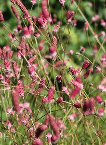 Wiesenknopf (Sanguisorba)