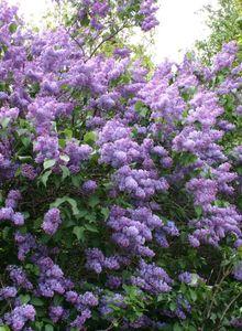 Ölbaumgewächse (Oleaceae)