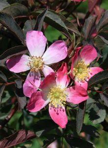 Wildrose Hechtrose / Rotblättrige Rose glauca