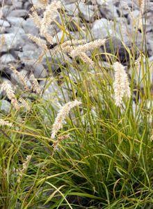 Perlgräser (Melica)