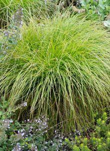 Sauergrasgewächse (Cyperaceae)