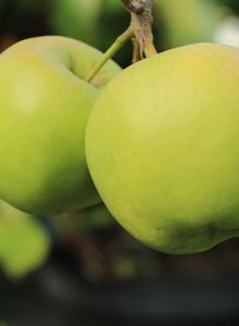 Winterapfel 'Golden Delicious'