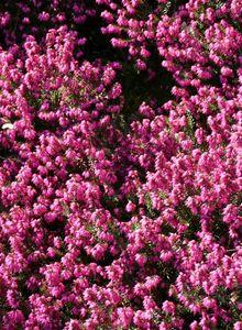 Winterblühende Heide 'Kramer's Rote'