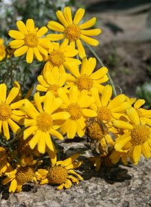 Wollblatt (Eriophyllum)