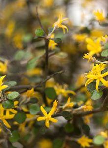 Argophyllaceae (Argophyllaceae)