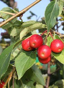 Zierapfel 'Red Jade'