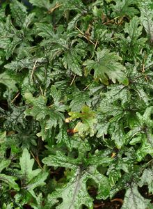 Schaumblüten (Tiarella)