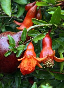 Granatäpfel (Punica)