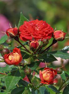 Zwerg-Kletterrose Starlet®-Rose 'Carmen' ®