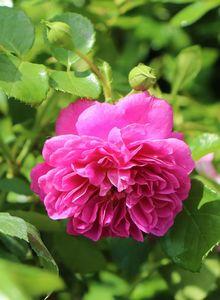 Zwerg-Kletterrose Starlet®-Rose 'Melina' ®