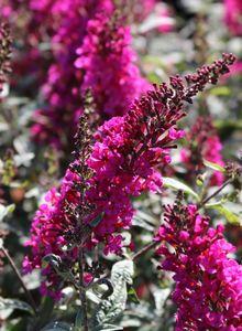 Zwerg-Sommerflieder / Schmetterlingsstrauch 'Buzz ® Hot Raspberry'