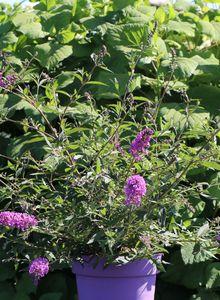 Braunwurzgewächse (Scrophulariaceae)