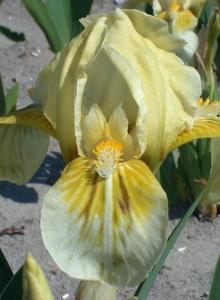 Schwertliliengewächse (Iridaceae)