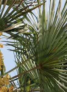Palmengewächse (Arecaceae)
