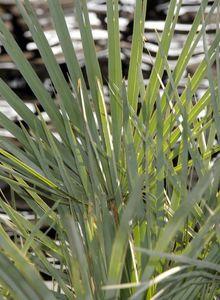 Palmenartige (Arecales)