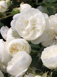 Zwergrose 'White Babyflor ®'