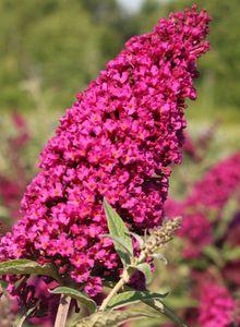 Zwerg-Sommerflieder / Schmetterlingsstrauch 'Buzz ® Velvet'
