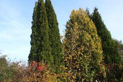 Abendländischer Lebensbaum 'Holmstrup'