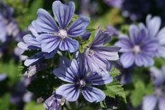 Algier-Malve 'Primley Blue'