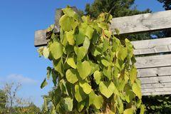 Amerikanische Pfeifenwinde / Pfeifenblume / Gespensterpflanze