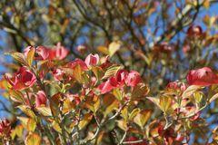 Amerikanischer Blumen-Hartriegel 'Cherokee Sunset'