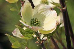Amerikanischer Blumen-Hartriegel 'Fastigiata'