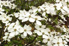 Amerikanischer Blumen-Hartriegel 'Monarch'