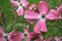 Amerikanischer Blumen-Hartriegel 'Sweetwater'