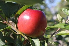 Apfel 'Ecolette'