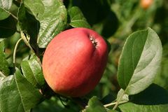 Apfel 'Erbachhofer Mostapfel'