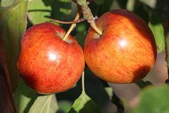 Apfel 'Geheimrat Dr. Oldenburg'