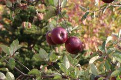 Apfel Redlove ® 'Circe'