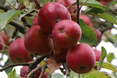 Apfel Redlove ® 'Era'
