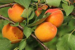 Aprikose 'Orangered'