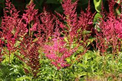 Arends-Prachtspiere 'Astary Red' ®
