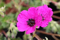 Aschgrauer Storchschnabel 'Purple Pillow'
