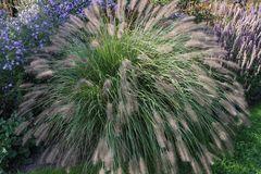 Australisches Lampenputzergras