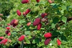 Brombeere 'Tayberry ® Medana'